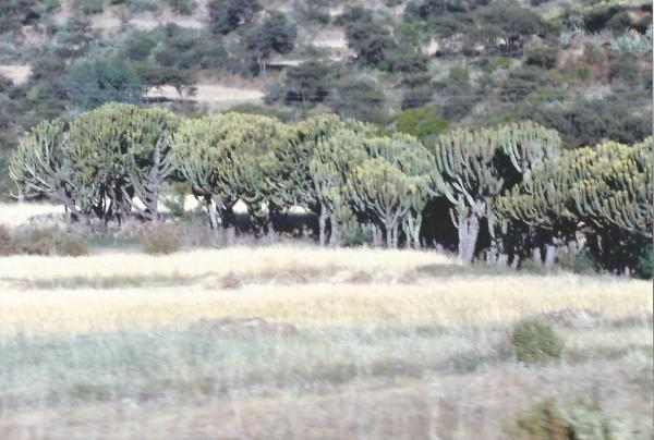 Šuma kaktusa
