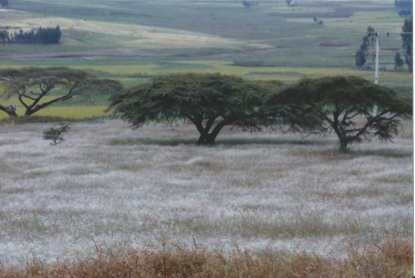 Stabla akacija koje izgledaju kao kišne šume