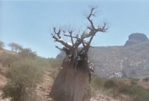 Stablo baobaba