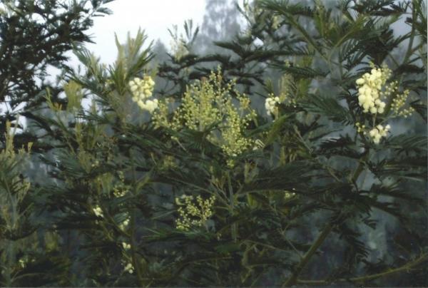 Bijele mimoze u selu Ngadisar u podnožju planine Bromo