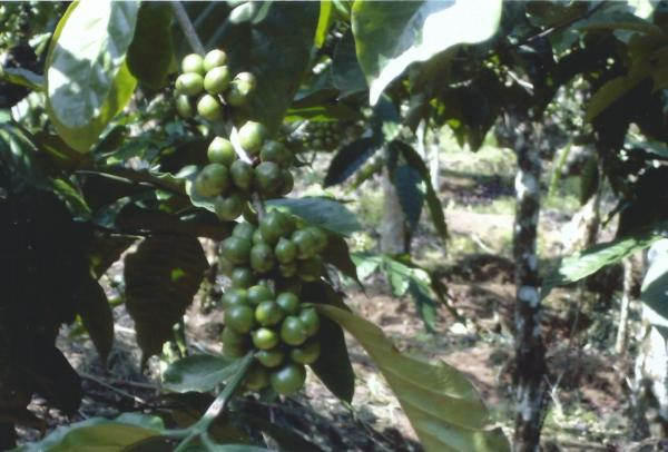 Kaliklatah-plantaža kave
