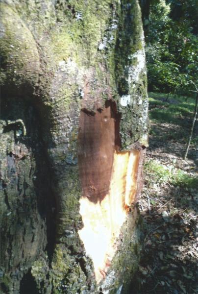 Plantaža Kaliklatah-drvo cimeta