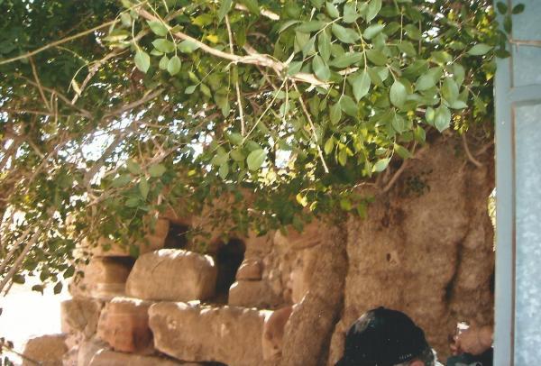 Petra-stablo pistacija staro 450 god.