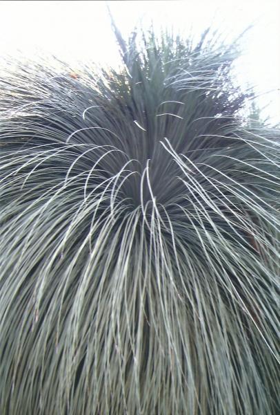 Biljka iz Australije slična busenu trave s vrlo čvrstim listovima