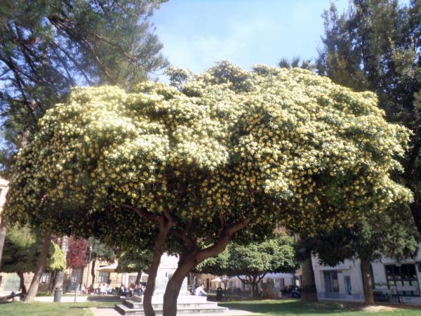 Drvo mimoze