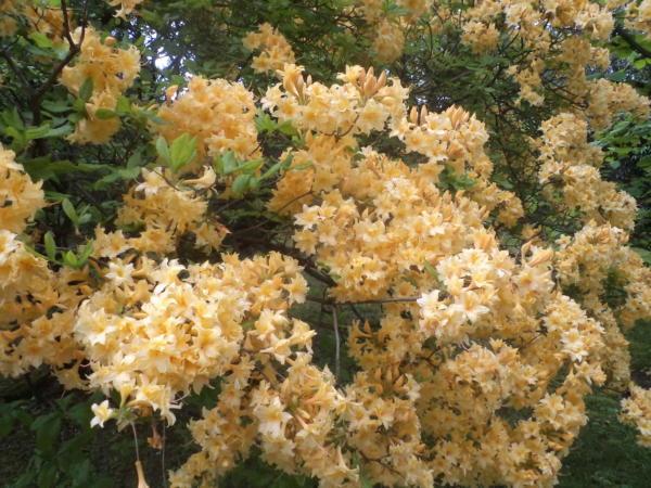 Rododendroni u cvatu