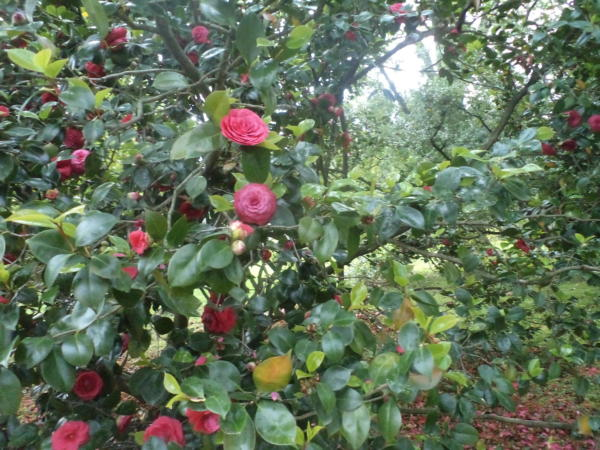 Kamelije u cvatu