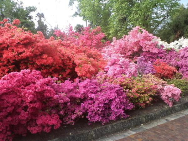Raskoš boja rododendrona