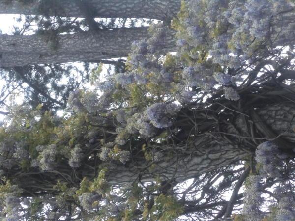 Glicinije u cvatu u gradskom parku.