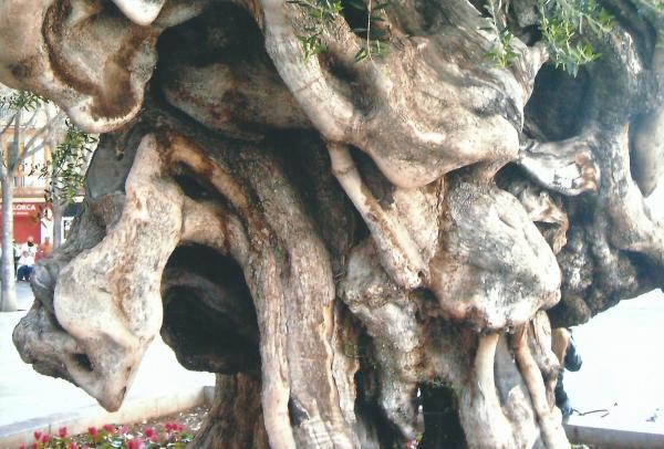 Palma de Mayorka-stablo masline staro 700 god.