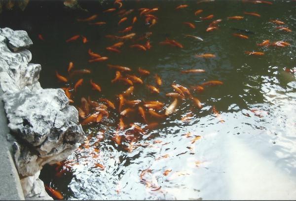 Crvene ribe u vrtovima sreće mandarina YU
