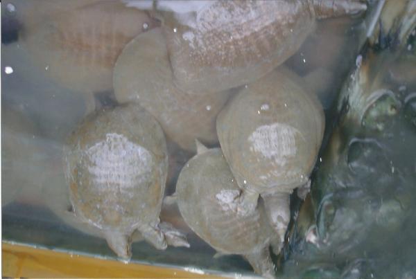 Jedan  od specijaliteta na tržnici u Xianu-kornjače