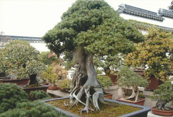 Krasni primjerci bonsaia u vrtovima mandarina YU