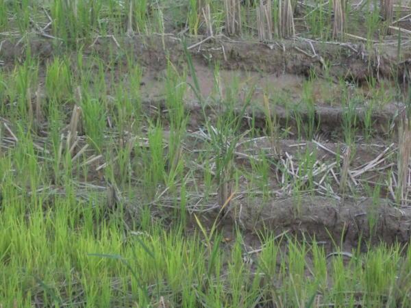 Polje riže.