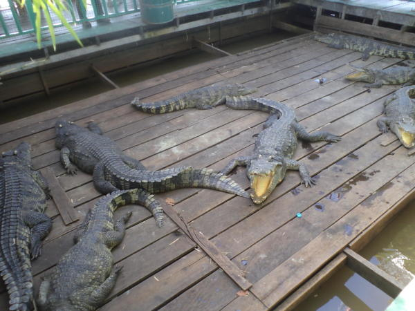 Farma Sijamskih krokodila.